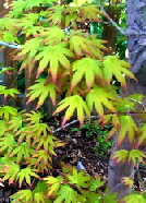 The beautiful Japanese Maple